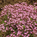 Seeds Saponaria ocymoides (Soapwort Pink)-Seeds Wildflowers Saponaria ocymoides (Soapwort Pink)