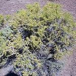 Seeds Sarcobatus vermiculatus-Sarcobatus vermiculatus (Greasewood)
