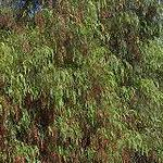 Seeds Schinus molle (California pepper tree)-Seeds Schinus molle,California pepper tree