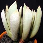 Seeds Schwantesia triebneri-Seeds Schwantesia triebneri