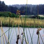 Seeds Scirpus acutus (Hardstem Bulrush)-Seeds Scirpus acutus (Hardstem Bulrush), Schoenoplectus acutus var. acutus