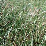 Seeds Scirpus americanus (Olney's Threesquare Bulrush)-Seeds Scirpus americanus (Olney's Threesquare Bulrush)