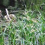 Seeds Scirpus fluviatilis (River Bulrush)-Seeds Scirpus fluviatilis (River Bulrush)