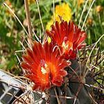 Sclerocactus species mix-Seeds Cacti Sclerocactus species mix