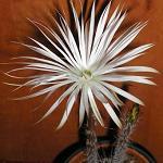 Setiechinopsis mirabilis-Setiechinopsis mirabilis, Setiechnopsis mirabilis