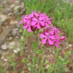 Seeds Silene armeria (Catchfly)-Silene armeria (Catchfly)
