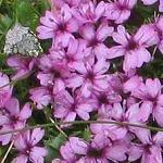 Seeds Silene pendula (Nodding Catchfly)-Silene pendula (Nodding Catchfly)