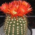 Soehrensia bruchii-Seeds Cacti Lobivia bruchii