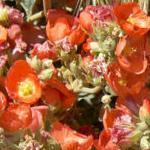 Seeds Sphaeralcea ambigua (Orange)-Sphaeralcea ambigua seeds (Desert Globe Mallow / Orange)