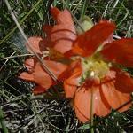 Seeds Sphaeralcea coccinea (Scarlet Globemallow)-Seeds Sphaeralcea coccinea (Scarlet Globemallow