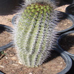 Stenocereus thurberi-Seeds Cacti Stenocereus thurberi, (Arizona organ pipe)