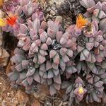 Seeds Stomatium alboroseum-Seeds Stomatium alboroseum