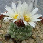 Strombocactus disciformis-Seeds Cacti Strombocactus disciformis