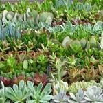 """Succulent collection (3.5"""" pots)-Succulent assortment in 3.5 pots. This succulent collection consists of Aeoniums,  Aloes. Crassulas, Echeverias, Kalanchoes, Sedums"""