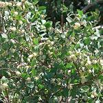 Seeds Symphoricarpos oreophilus-Seeds Symphoricarpos oreophilus