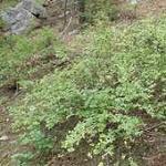 Seeds Symphoricarpos rotundifolius-Seeds Symphoricarpos rotundifolius