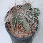 Opuntia violacea var. macrocentra (Texas santa rita)-Opuntia Violacea var. macrocentra (Texas Santa Rita, black spine cactus