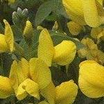 Seeds Thermopsis montana (Gold Banner Pea)-Seeds Wildflowers Thermopsis montana (Gold Banner Pea)