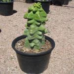 Lophocereus schottii v. monstrose-Lophocereus Schottii Var. Monstrosa  Totem Pole Cactus