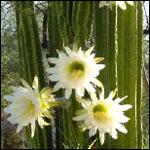 Trichocereus