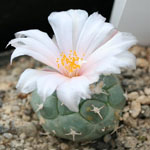 Turbinicarpus lophophoroides-Seeds Cacti Turbinicarpus lophophoroides