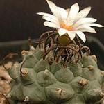 Turbinicarpus schwarzii-Seeds Cacti Turbinicarpus schwarzii