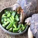 Opuntia ficus indica-Tortoises, turtle food, Iguanas and reptile food