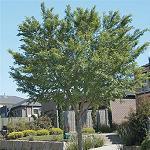 Seeds Ulmus parvifolia-Ulmus parvifolia (Chinese Elm)