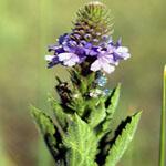 Seeds Verbena stricta (Hoary vervain)-Verbena stricta (Hoary vervain)