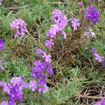 Seeds Verbena tenuisecta (Purple Moss Verbena)-Seeds Wildflowers Verbena tenuisecta (Moss verbena