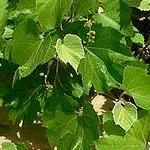 Seeds Vitis arizonica (AZ grape)-Seeds Vitis Arizonica, AZ Grape