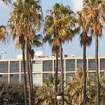 Seeds Washingtonia robusta-Seeds Washingtonia robusta (Mexican Fan Palm)