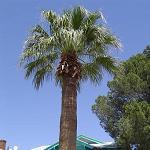Seeds Washingtonia filifera-Seeds Washingtonia filifera (California Fan Palm)