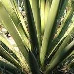 Seeds Yucca baccata-Yucca Baccata, Banana yucca