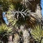 Seeds Yucca brevifolia-Brevifolia, Joshua Tree