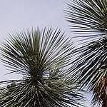 Seeds Yucca elata-Yucca Elata, Soaptree