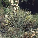 Seeds Yucca angustissima-Yucca angustissima (Thin Leaved Yucca)