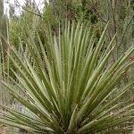 Seeds Yucca faxoniana-yucca faxoniana