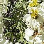 Seeds Zinnia acerosa-Seeds Wildflowers Zinnia acerosa (Desert Zinna)