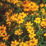 Seeds Zinnia linearis (Classic Zinnia)-Seeds Zinnia linearis (Classic Zinnia)