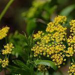 Seeds Zizia aurea (Golden Alexander)-Seeds Zizia aurea (Golden Alexander)
