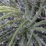 Seeds Agave filifera-Seeds Agave filifera