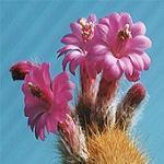 Akersia roseiflora-Akersia roseiflora, Cleistocactus samaipatanus
