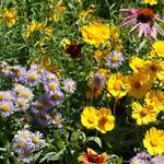 Eastern Pollinator Mixture