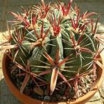 Ferocactus latispinus-Ferocactus latispinus