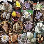 Seeds Lithops species mix-Lithops mix, Stone plants