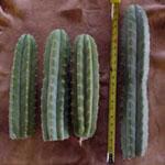 Trichocereus pachanoi (San pedro)-Trichocereus Pachanoi tricocereus San Pedro