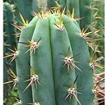 Trichocereus cuzcoensis-Trichocereus cuzcoensis
